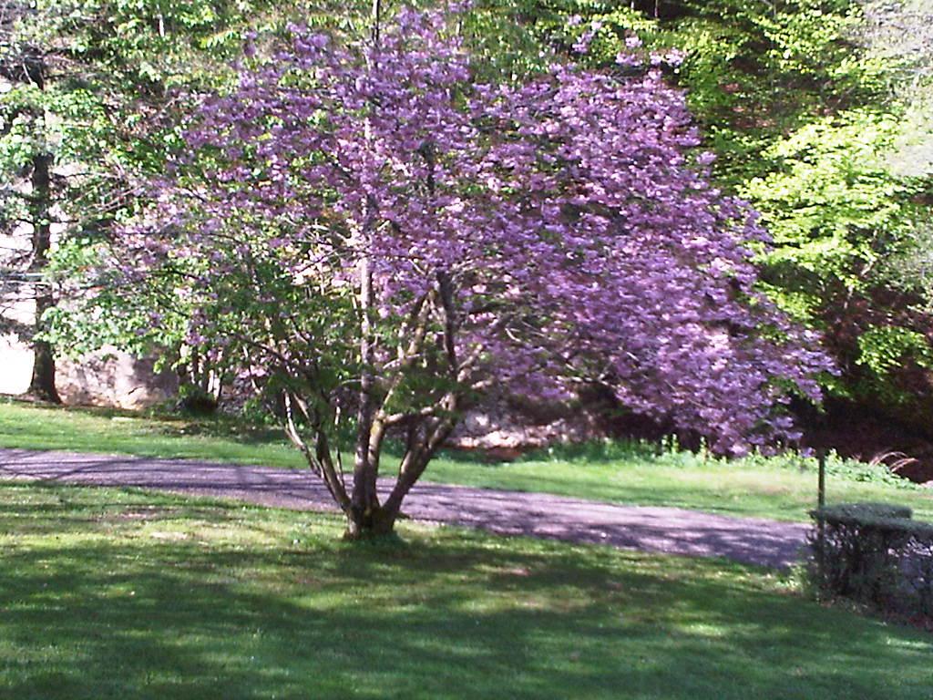 Arbre en fleurs Parc FENESTRE
