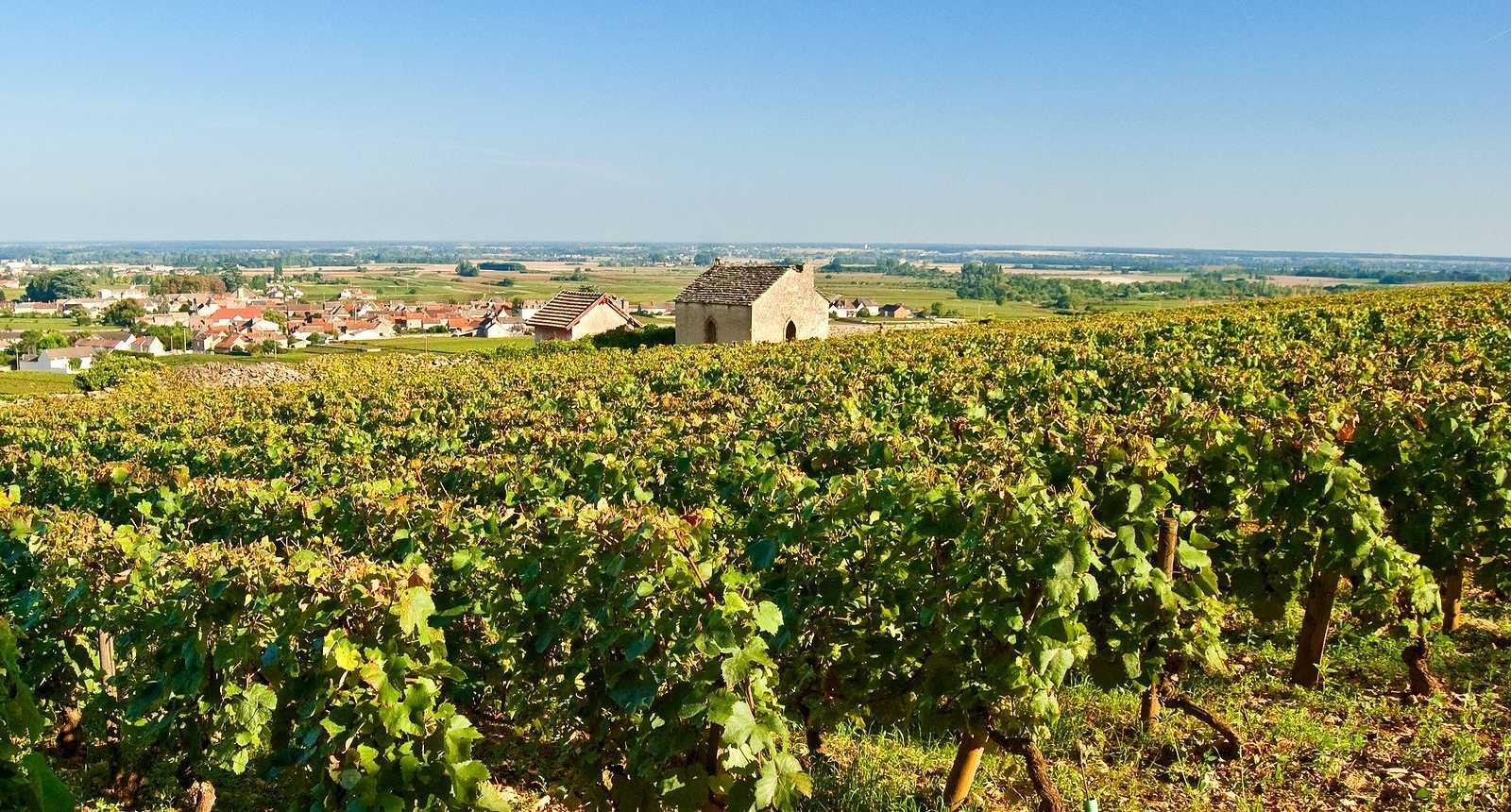 Vignoble bourguignon près de Meursault