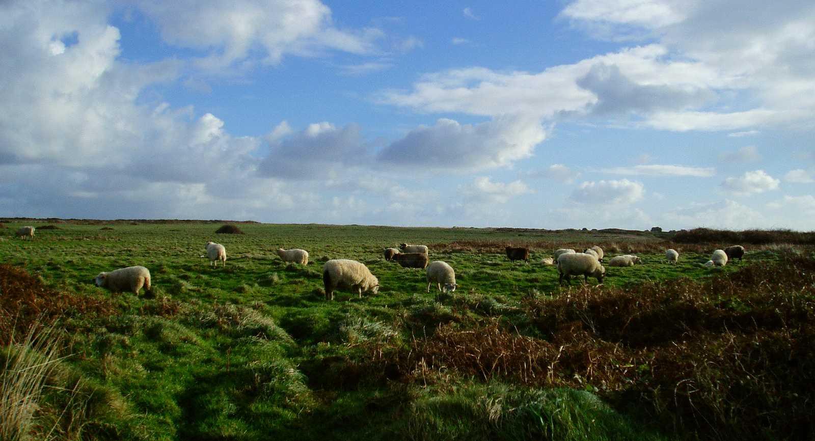 Moutons d'Ouessant