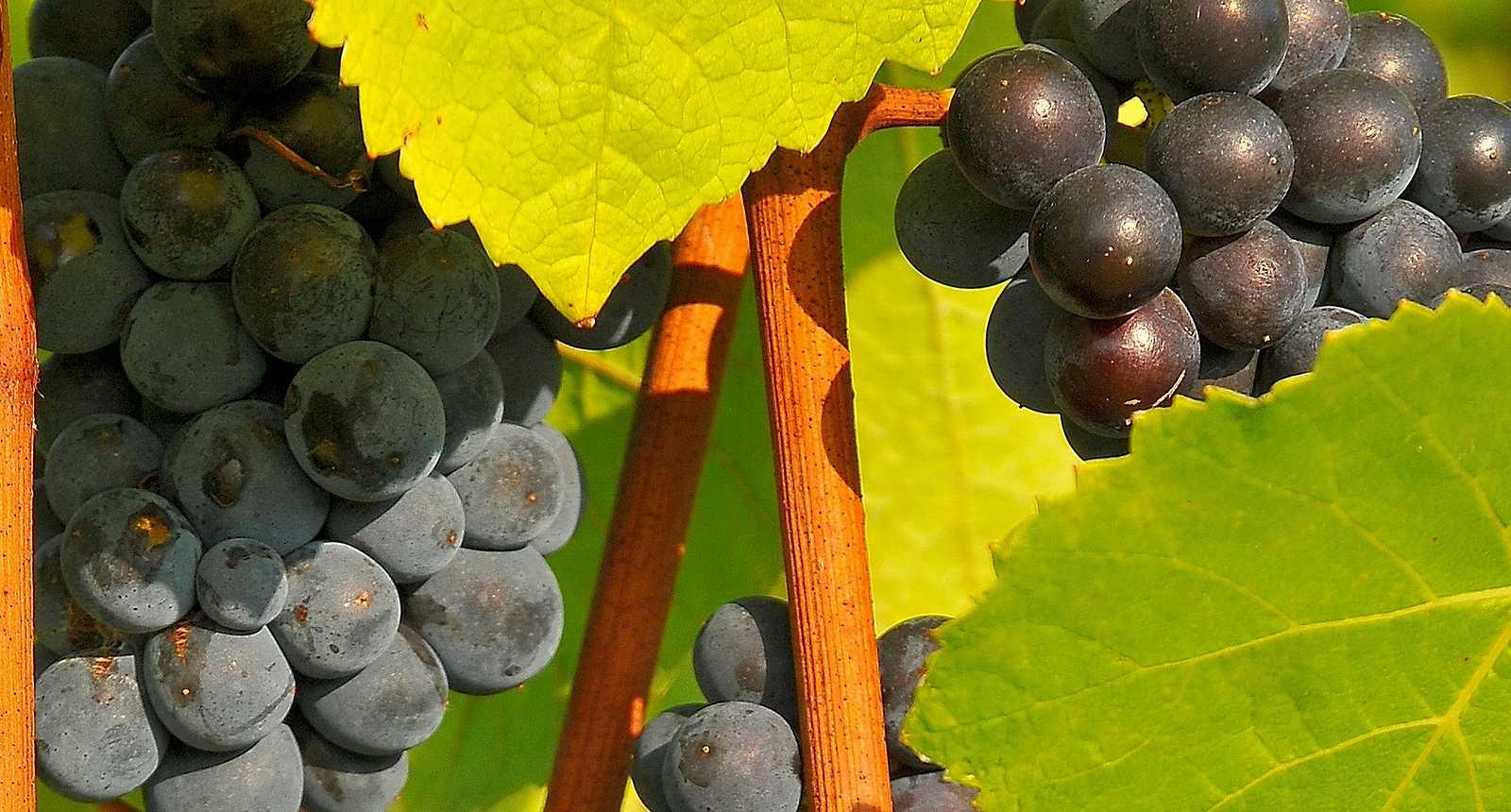 Vignoble de Champagne près de Bar-sur-Aube