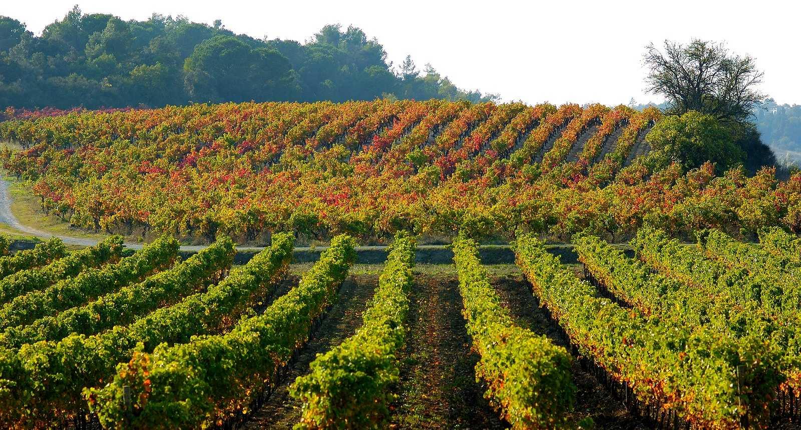 Le vignoble près de Carcassonne