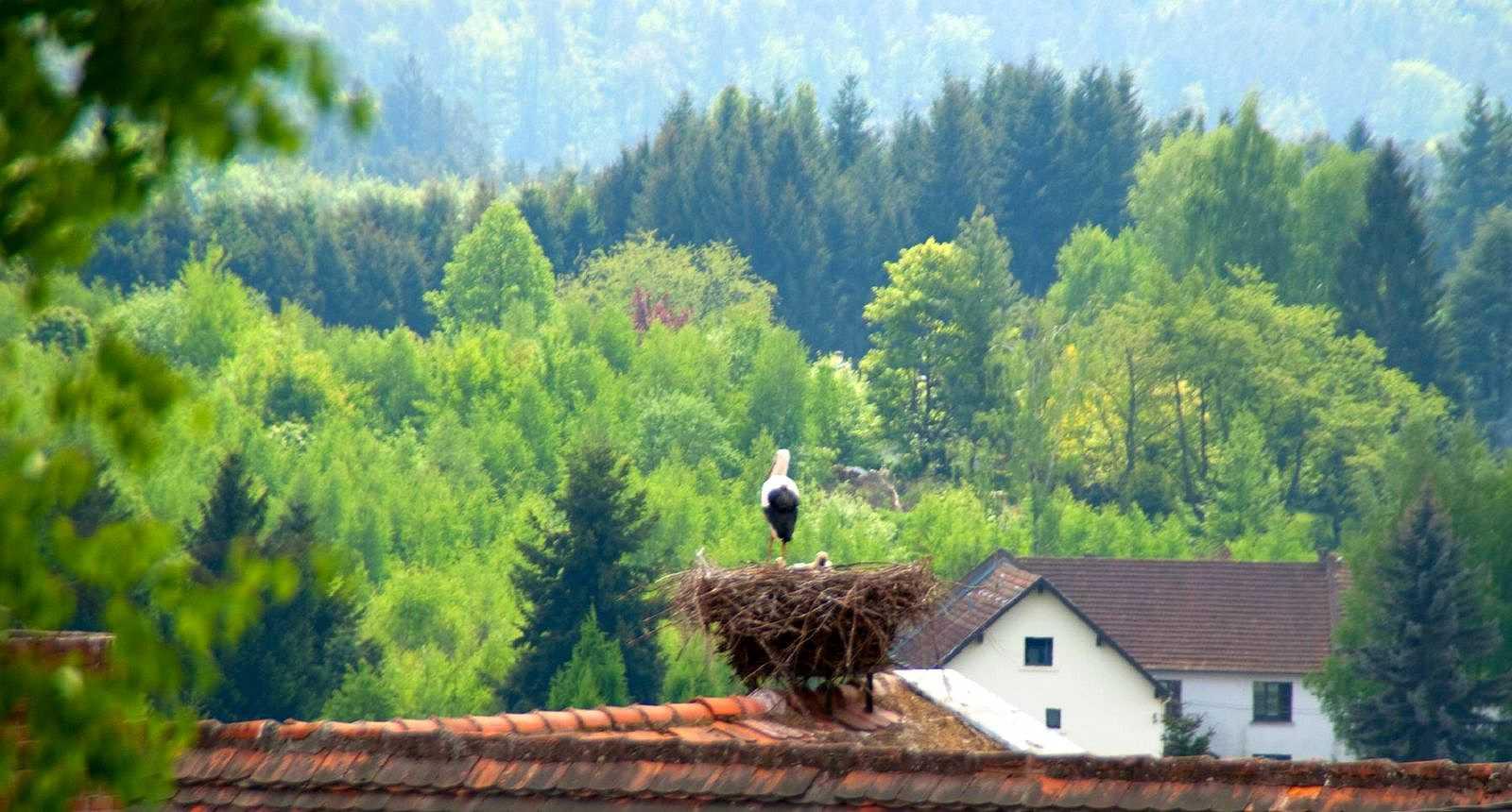 Cigognes sur les toits de Bitche