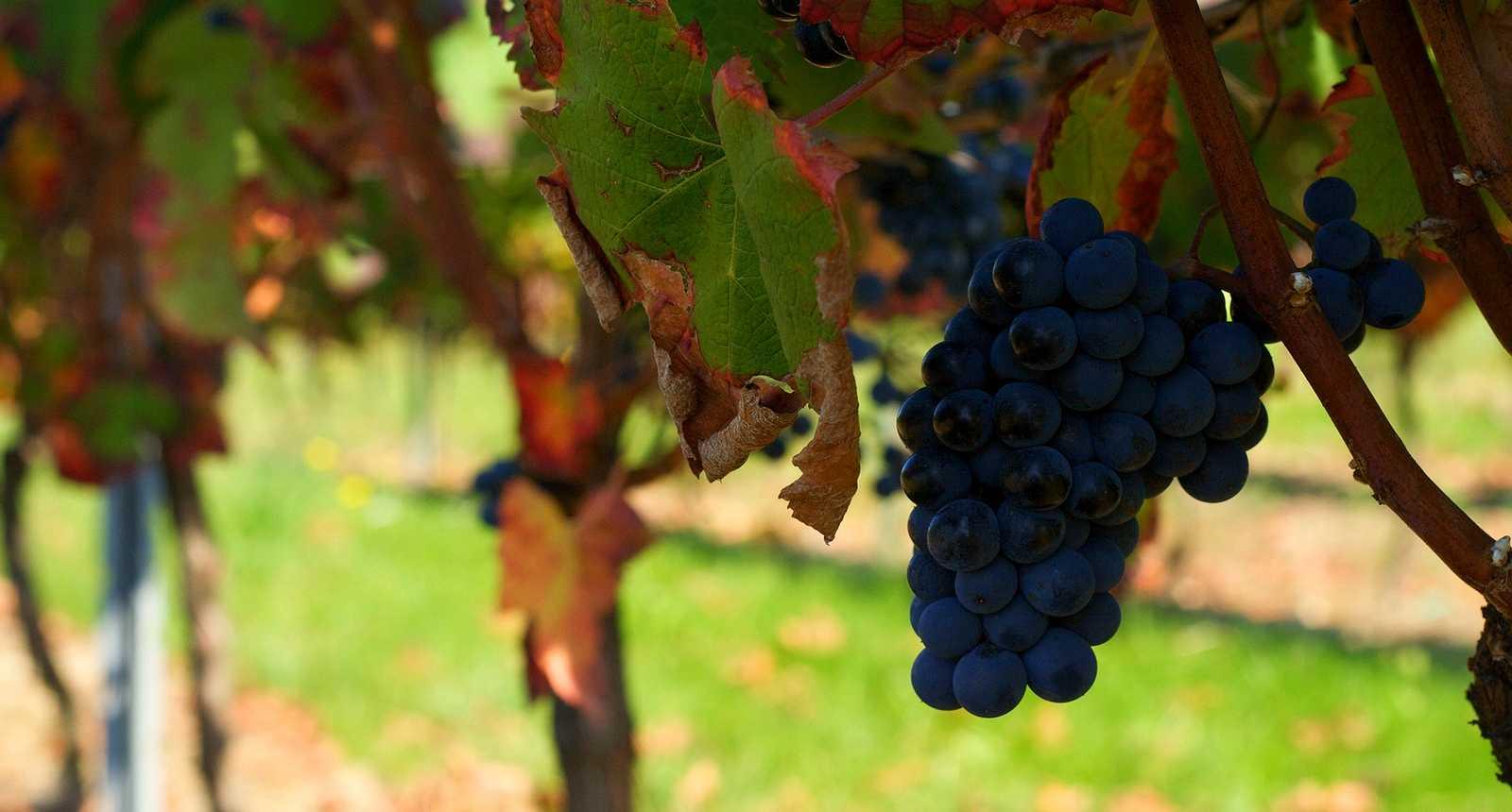 Le Vignoble de Gaillac (1)