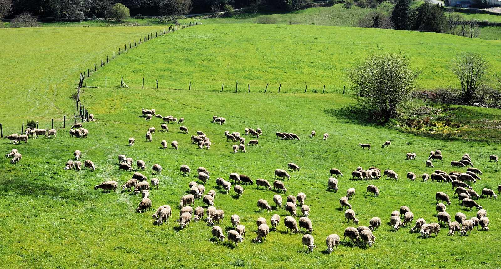 Troupeau de moutons près de La Salvetat-Peyralès