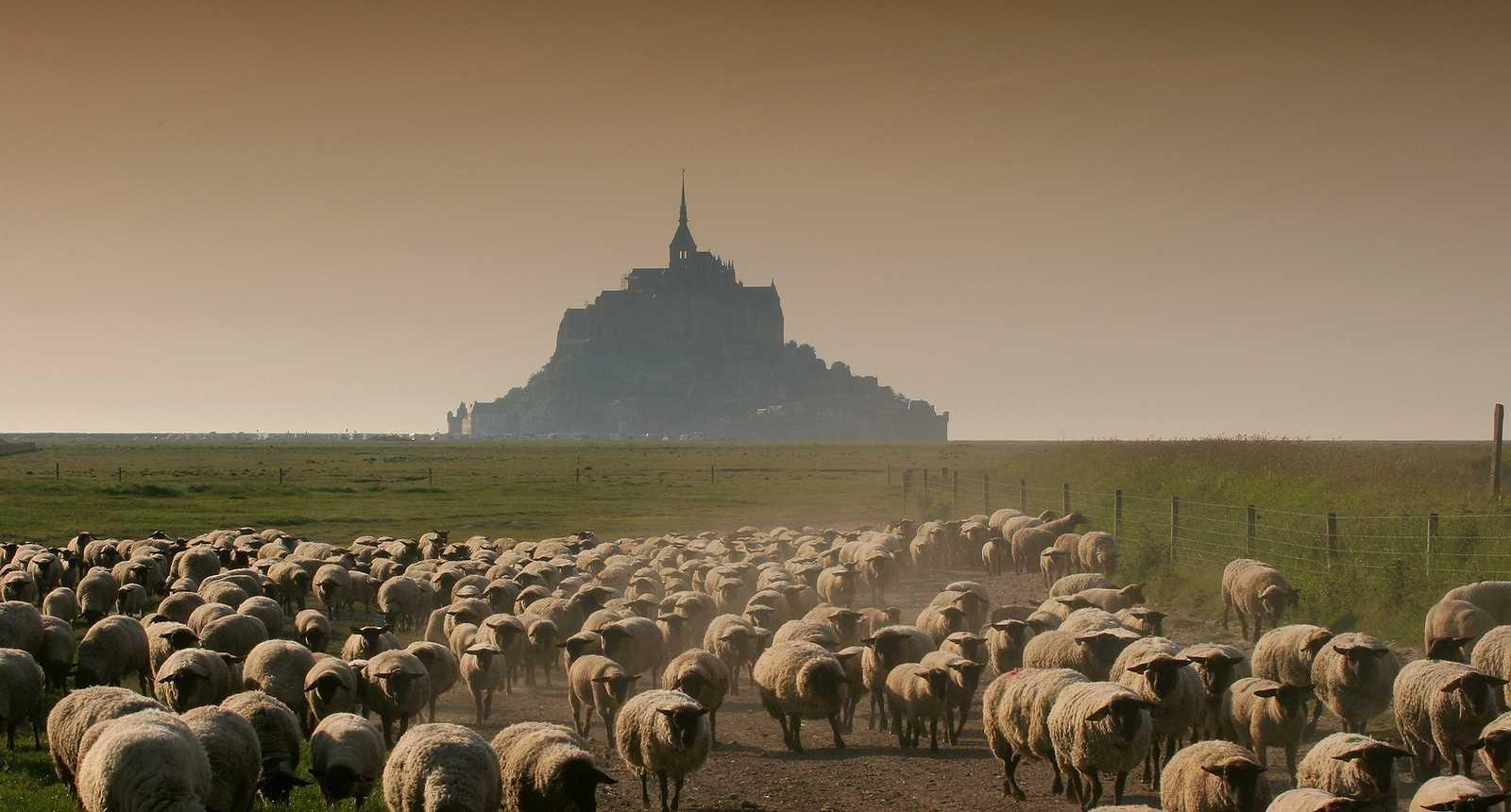 Les moutons de la Baie du Mont-Saint-Michel