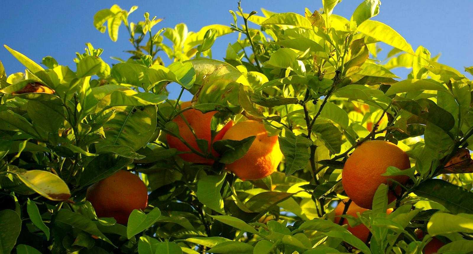 Arbre fruitier à Grasse