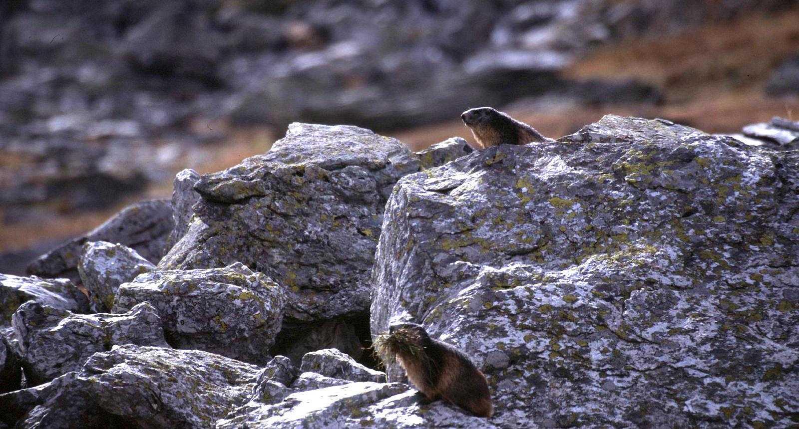 Marmottes dans les rochers de l'Ubaye