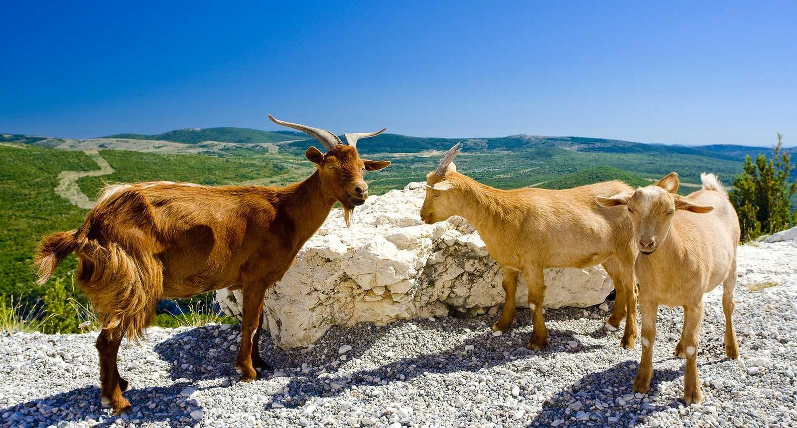 Chèvres dans les Gorges du Verdon