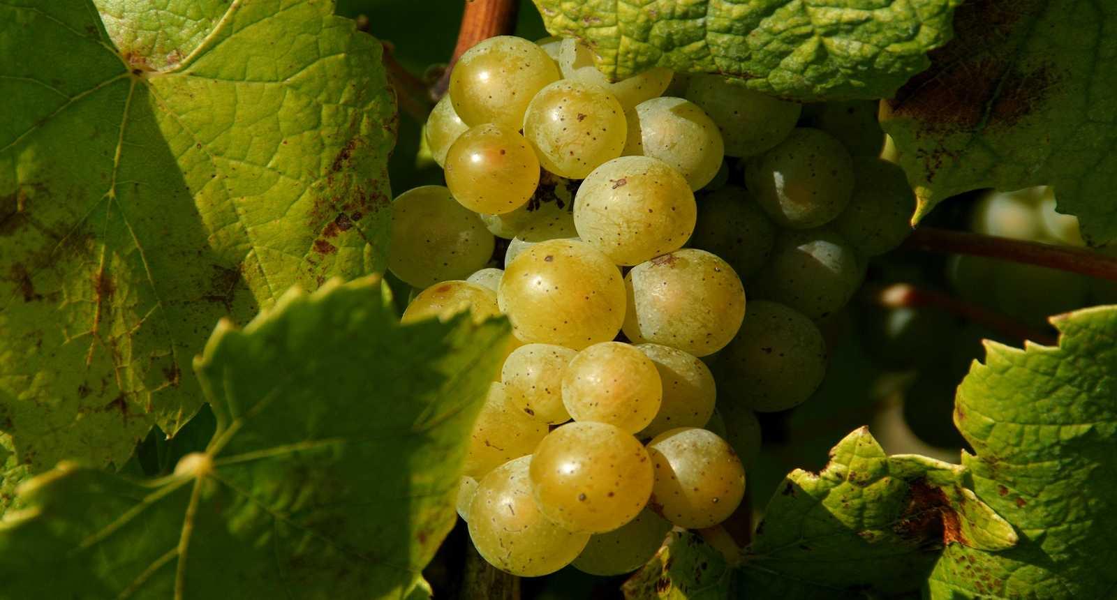 Grappe de raisin dans le Pays nantais