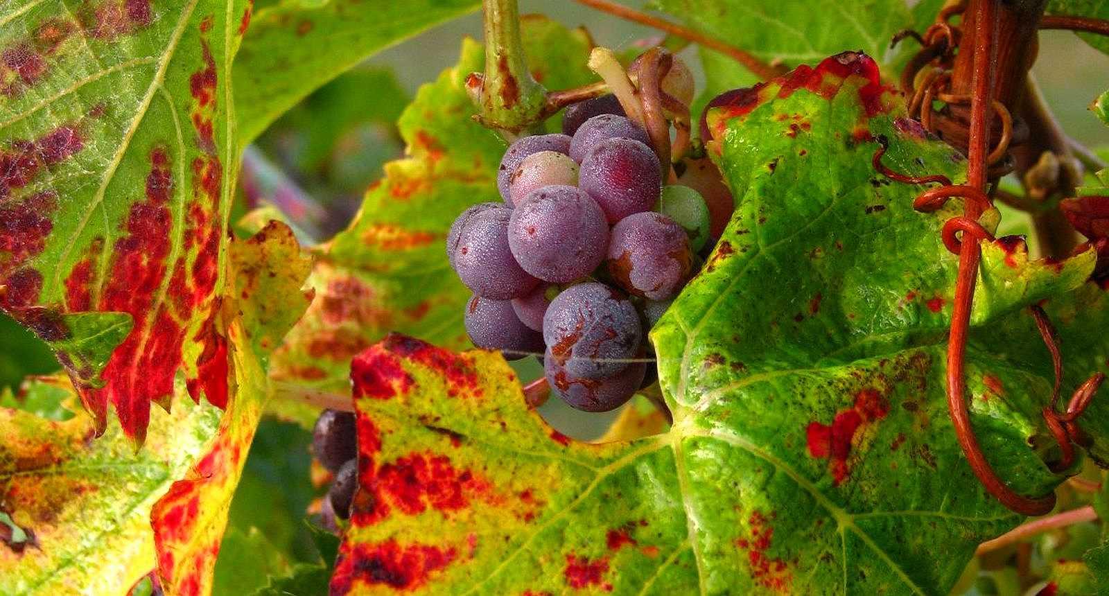 Vignoble de Saumur