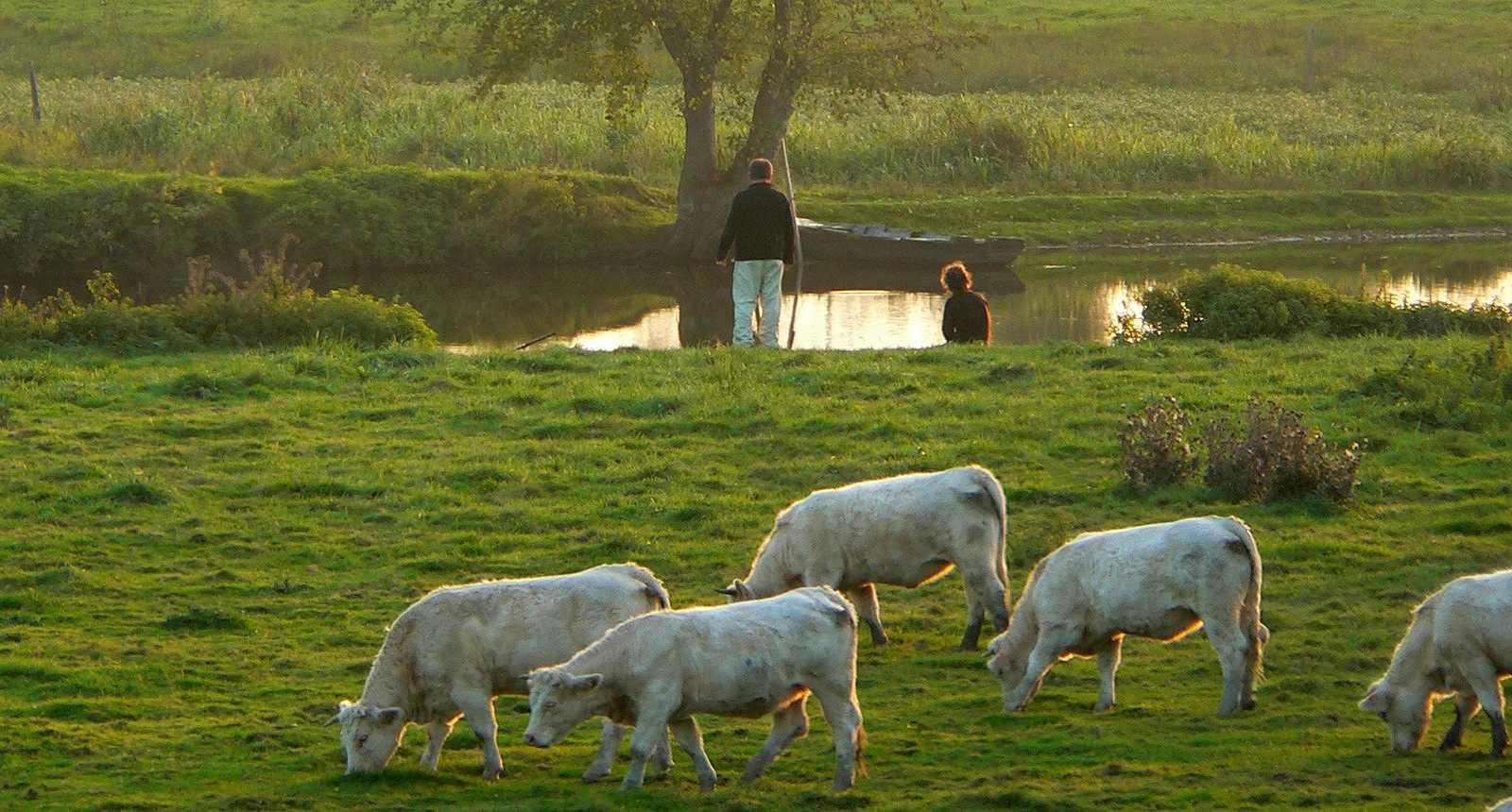 Troupeau de vaches près du Lion-d'Angers
