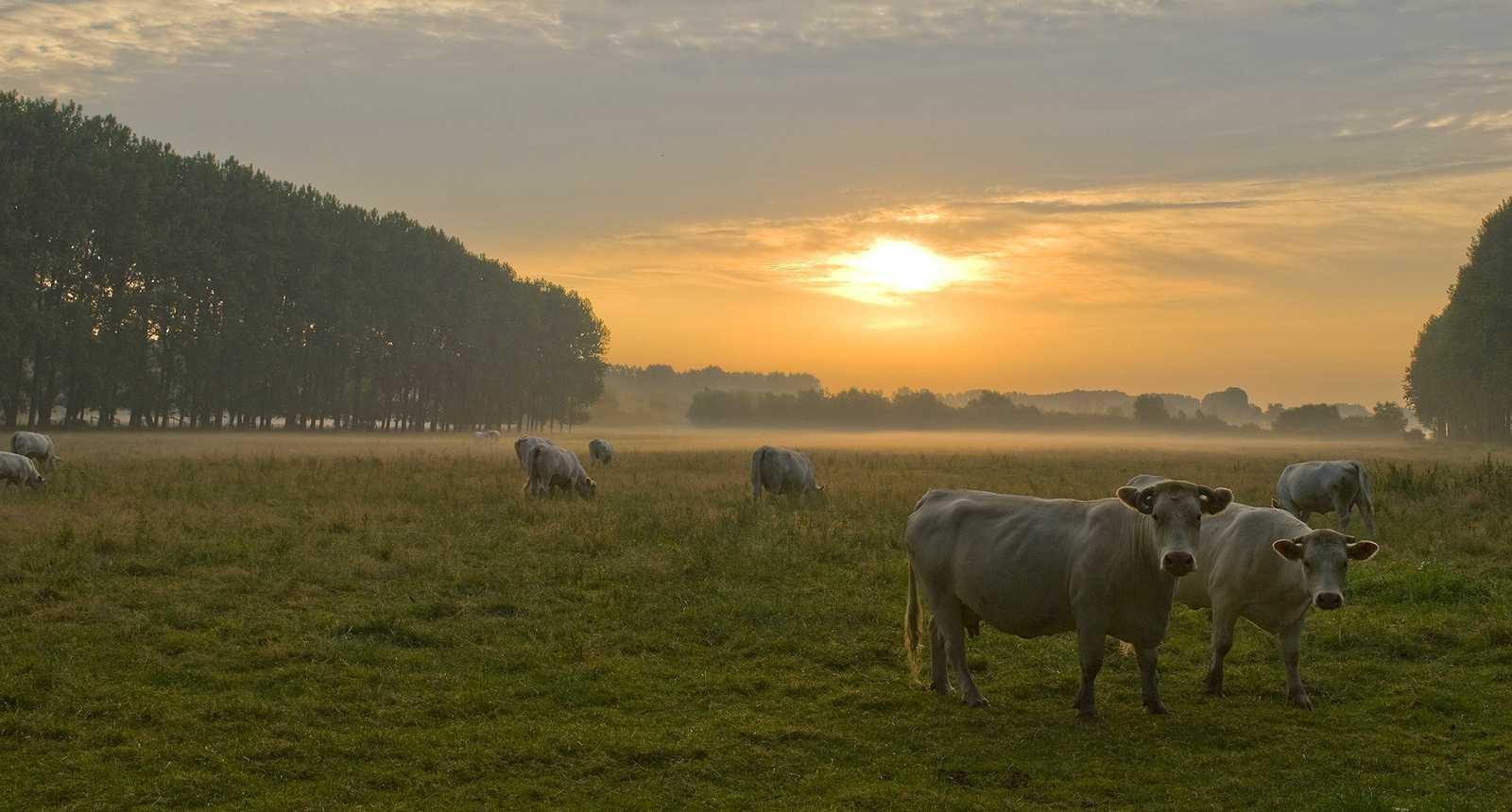 Vaches charolaises en pâture dans la Baie de Somme