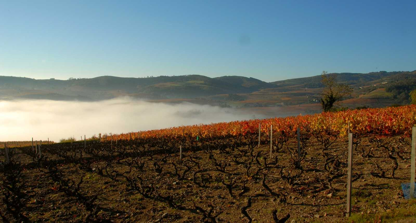 Brume sur les vignes du Beaujolais