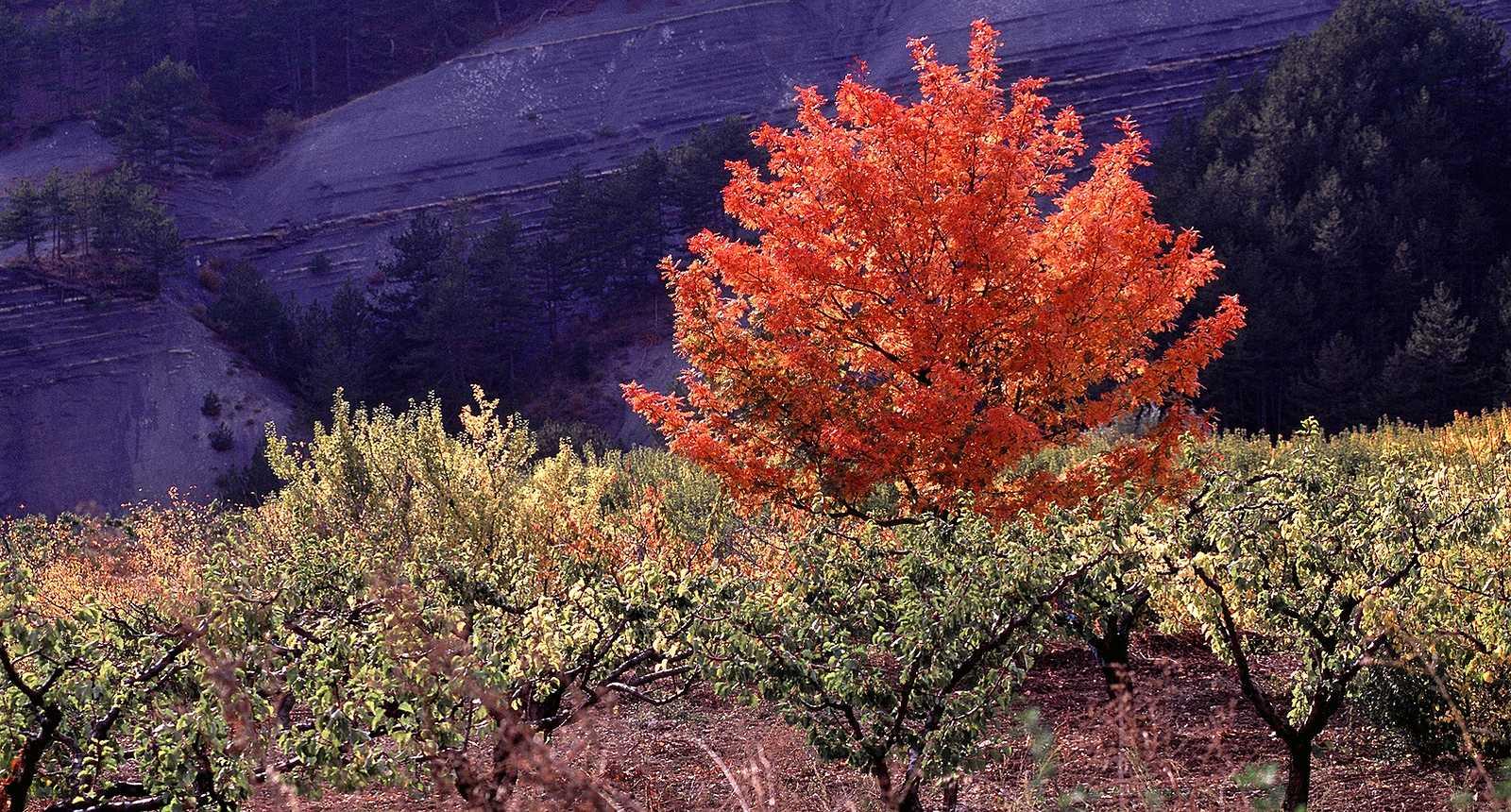 Photo arbres aux couleurs de feu en dr me proven ale - Arbre provencal ...