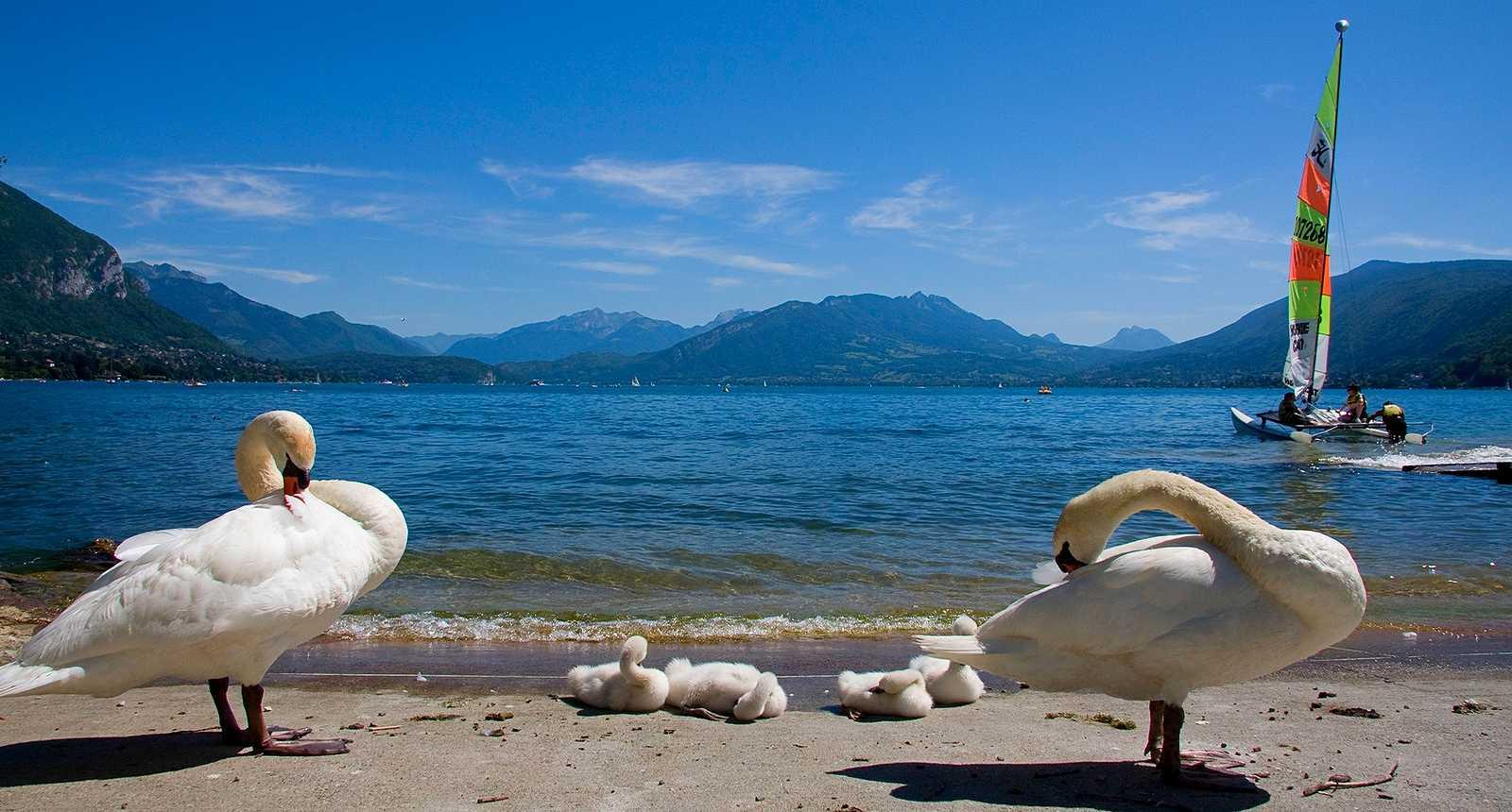 Cygnes au bord du Lac d'Annecy