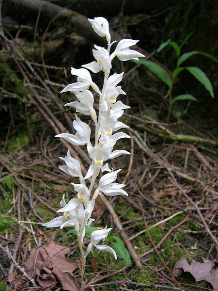 Céphalantère, flore du Mont Libre