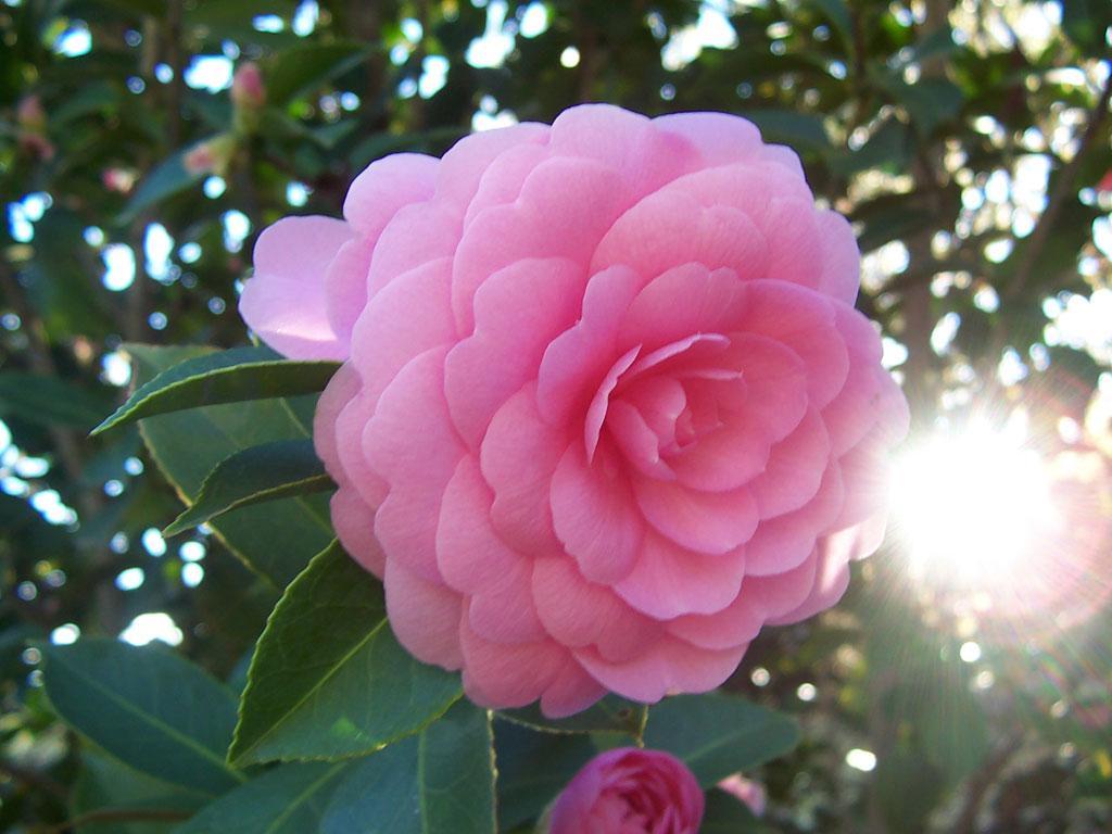 Image : Camellias de la Prairie