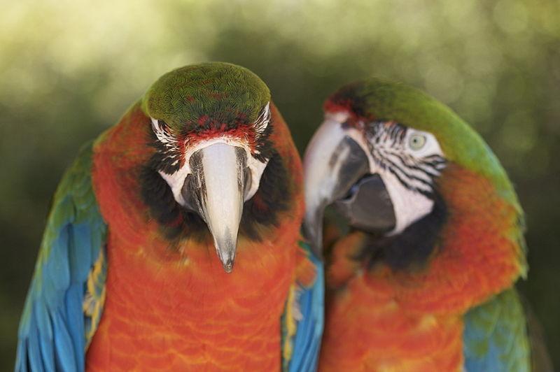 Perroquets dans le jardin de Sanary-Bandol
