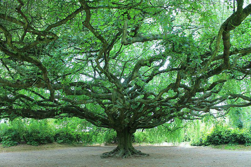 Jardin Public de Bayeux, hêtre pleureur