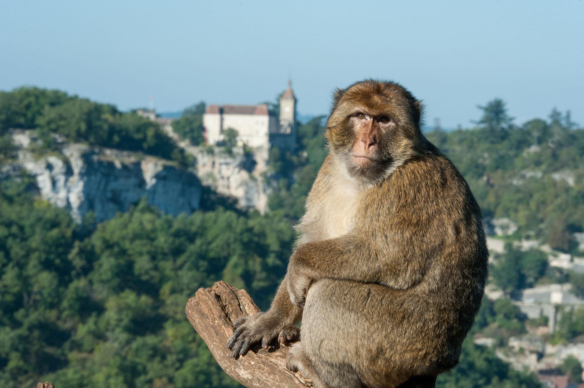 singe rocamadour©la forêt des singes