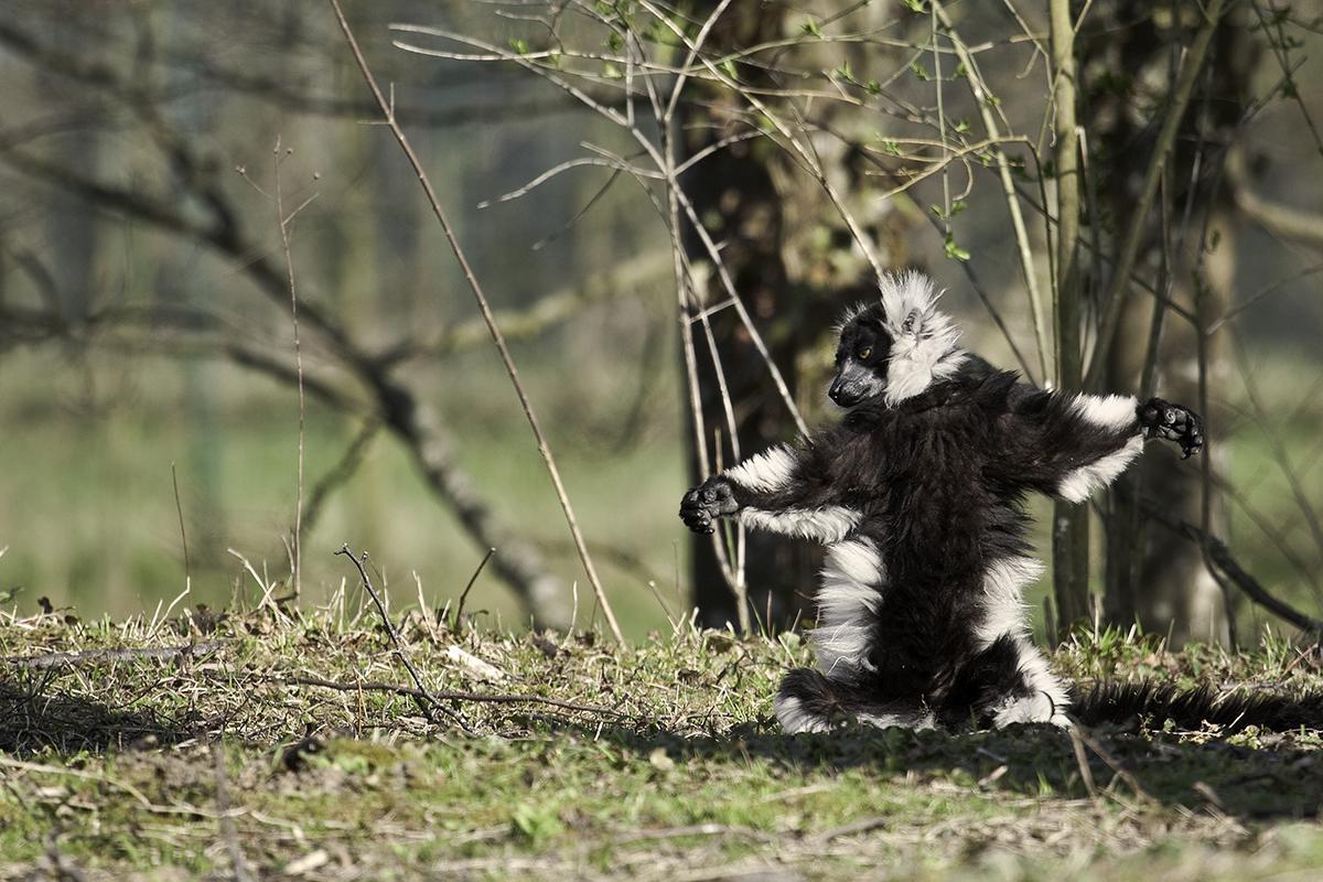 Lémurien au Parc des Félins