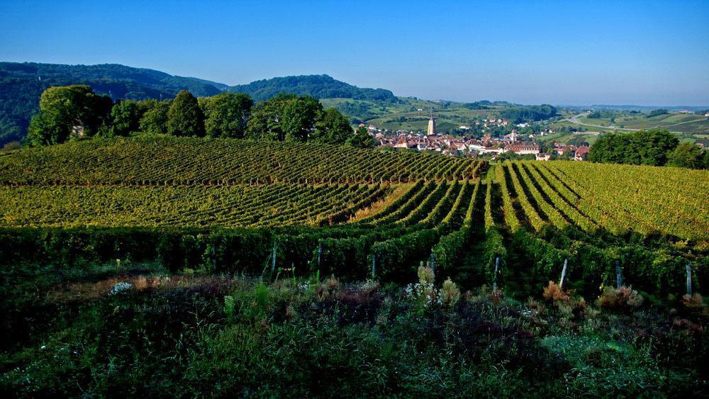 Les vignes du vin_Arbois