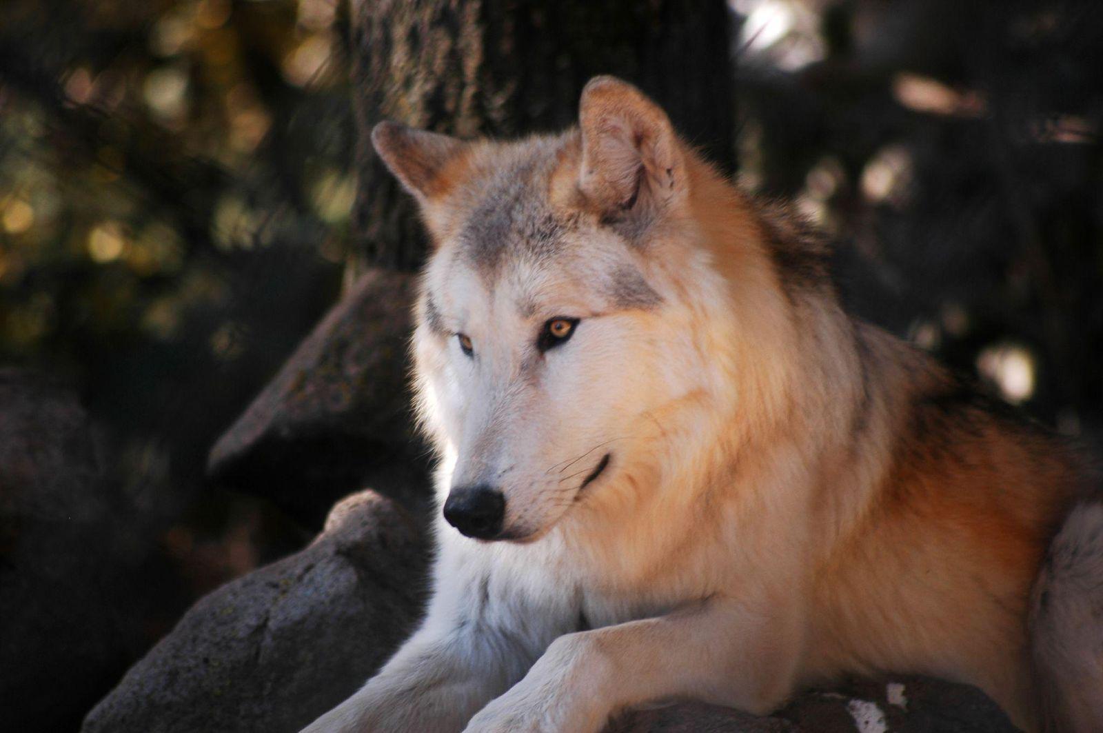 Parc des loups du Gévaudan_Marvejols