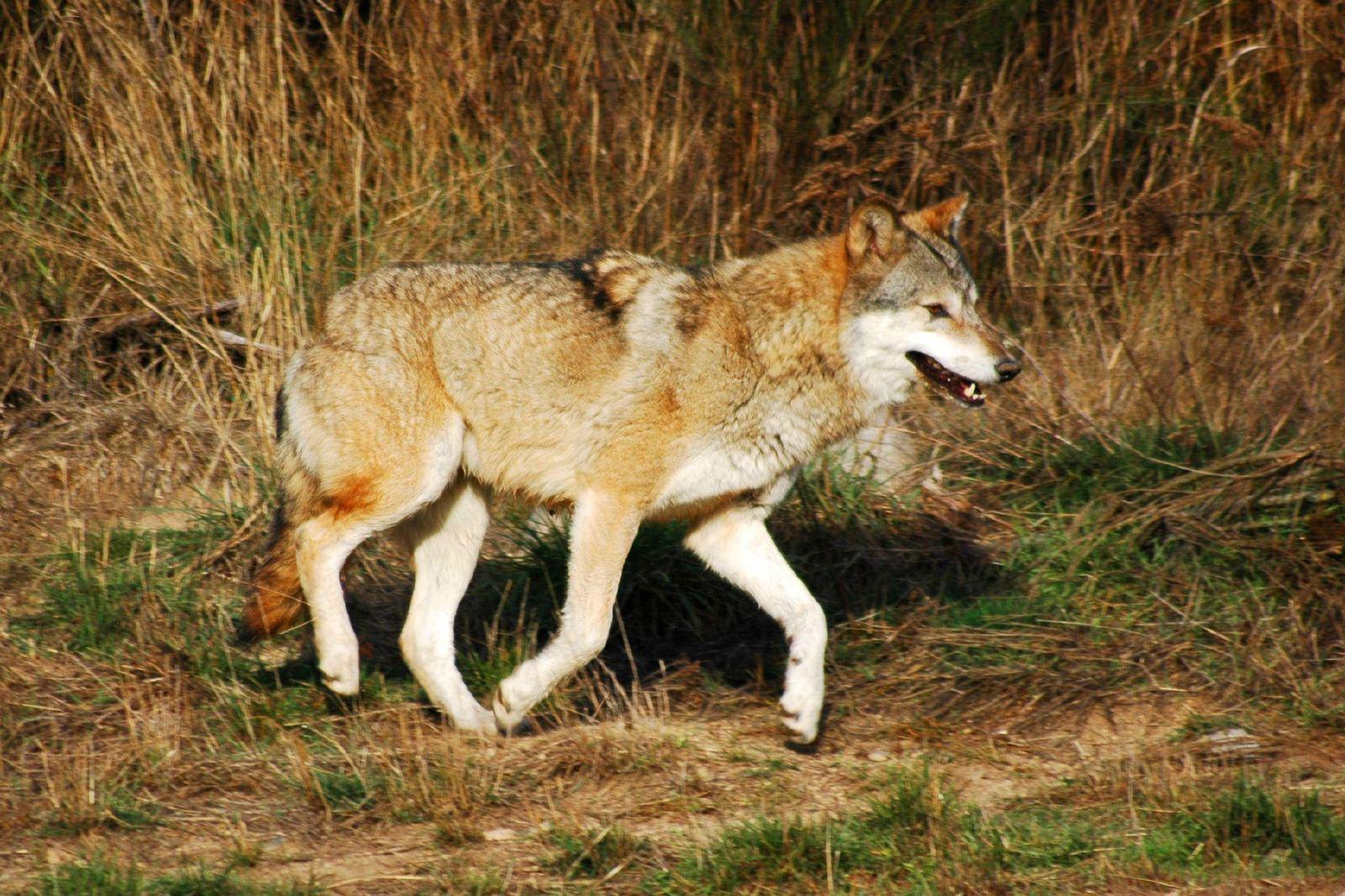 Parc des loups du Gévaudan_Marvejols (1)