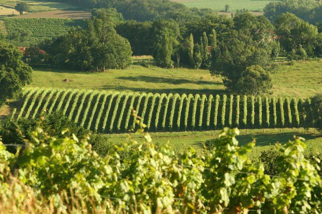 Madiran-paysage de vignes