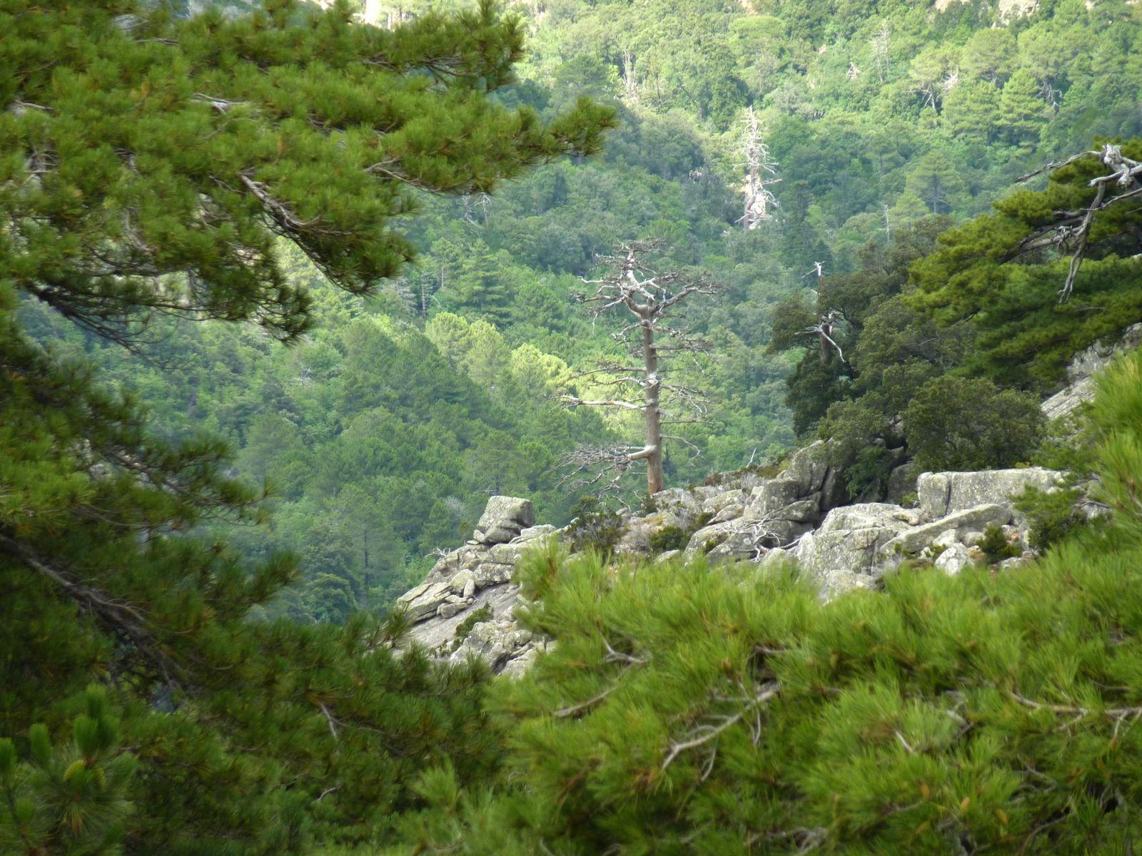 Forêt de Valdu-Niellu_Calacuccia