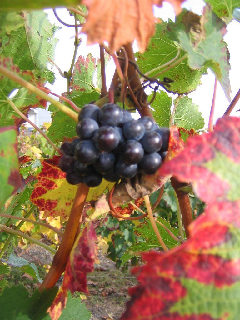 Vignoble_Bordeaux (1)