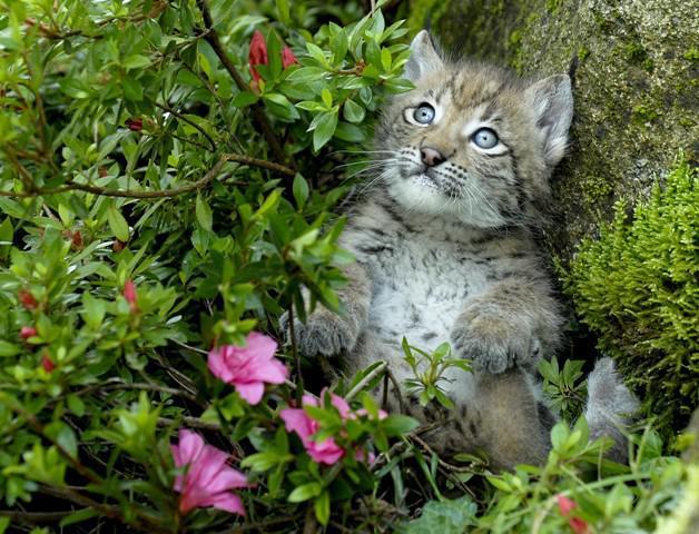 Bébé Lynx, Parc animalier des Pyrénées