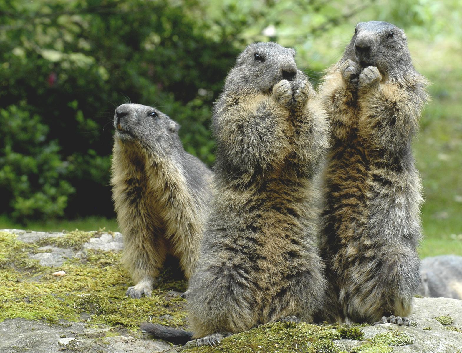 Marmottes, Parc animalier des Pyrénées