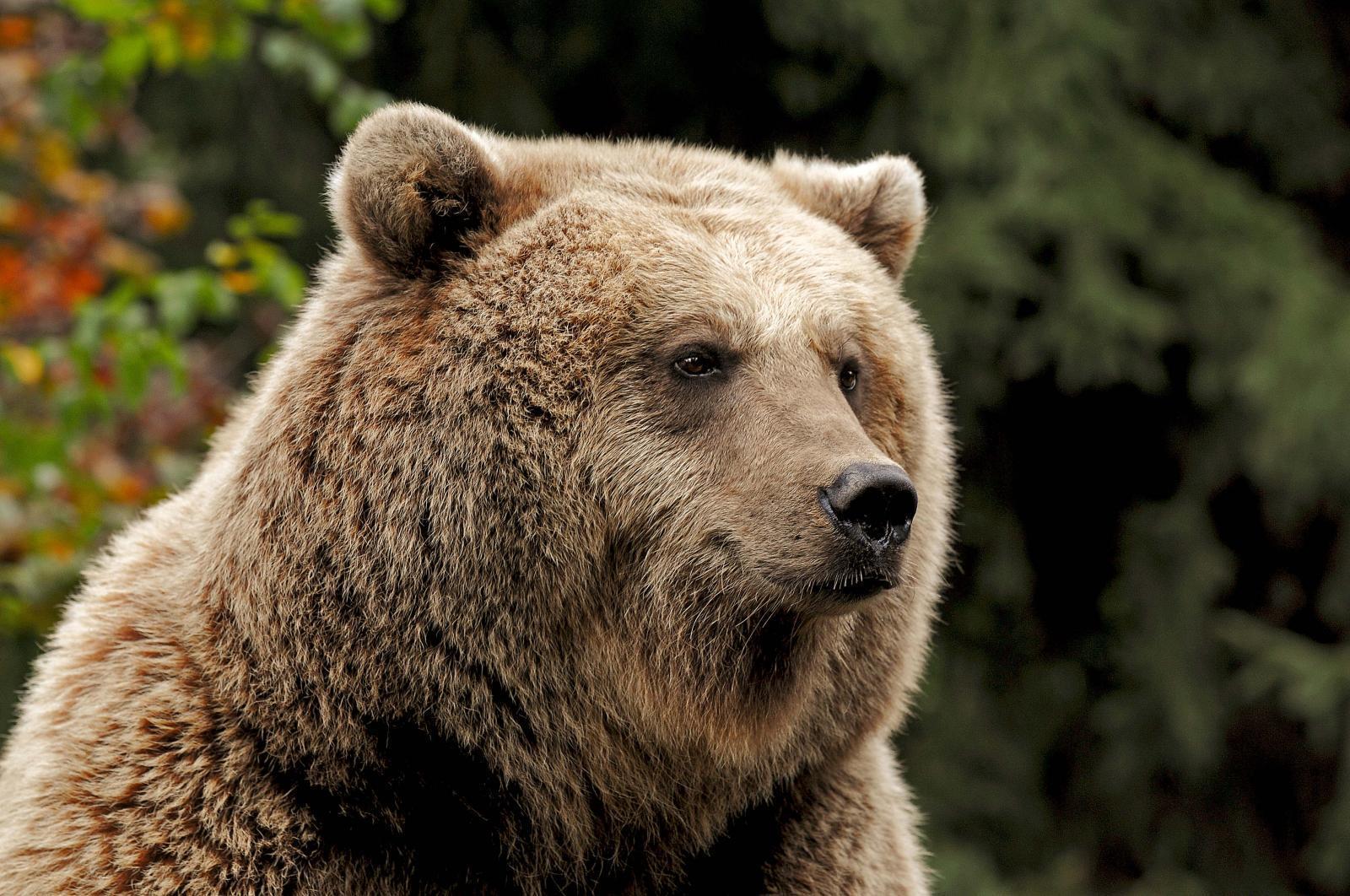 Ours du Parc animalier des Pyrénées