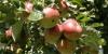 Pommes du Pays de Bray
