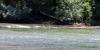 Echassiers dans la Garonne