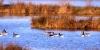 Oies cendrées et Benanches sur le Lac de Puydarrieux