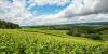 Vignes, Les Riceys