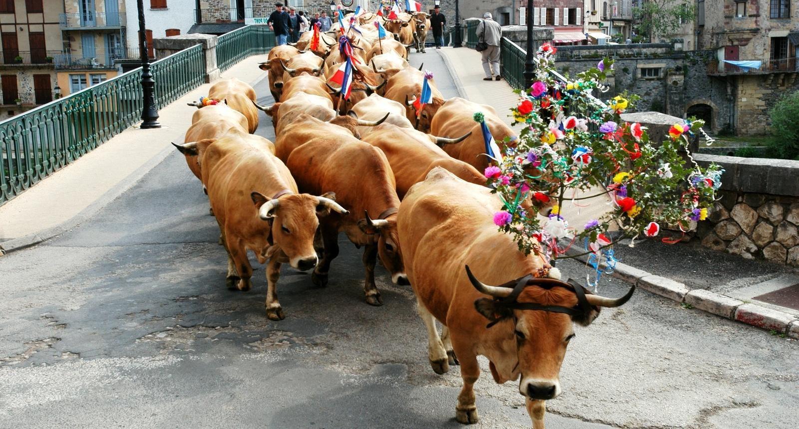 Fête de la Transhumance dans l'Aubrac (Midi-Pyrénées)