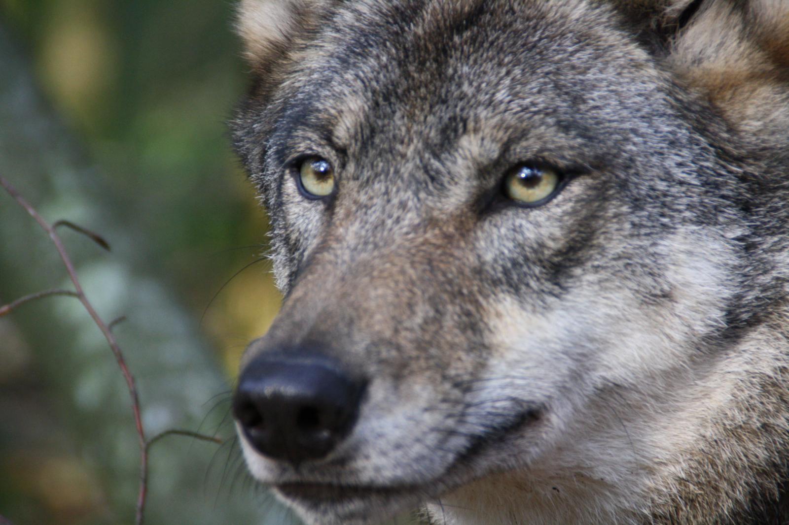 Loups-PAD