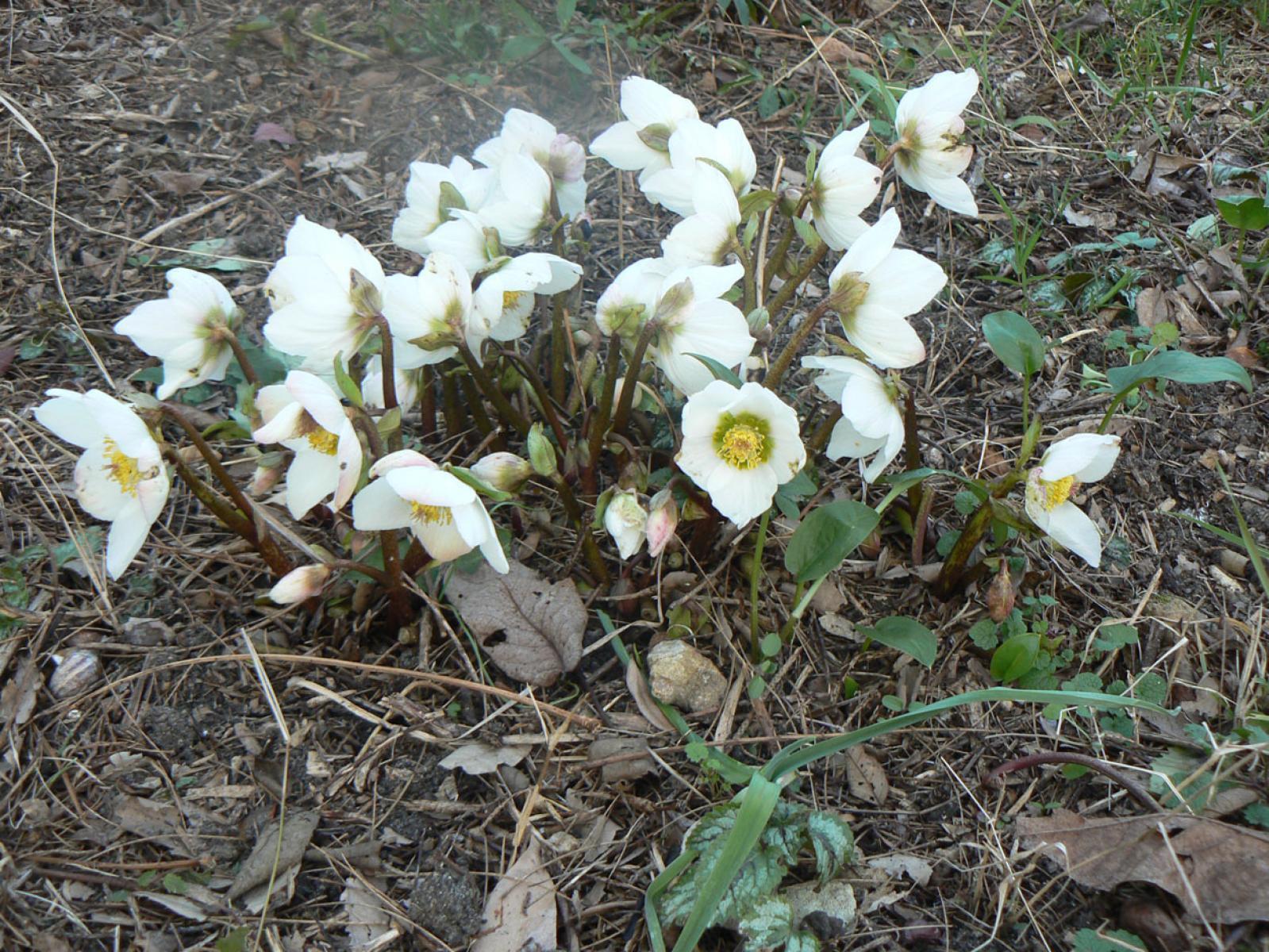 Helleborus Nigercors dans le jardin arrière