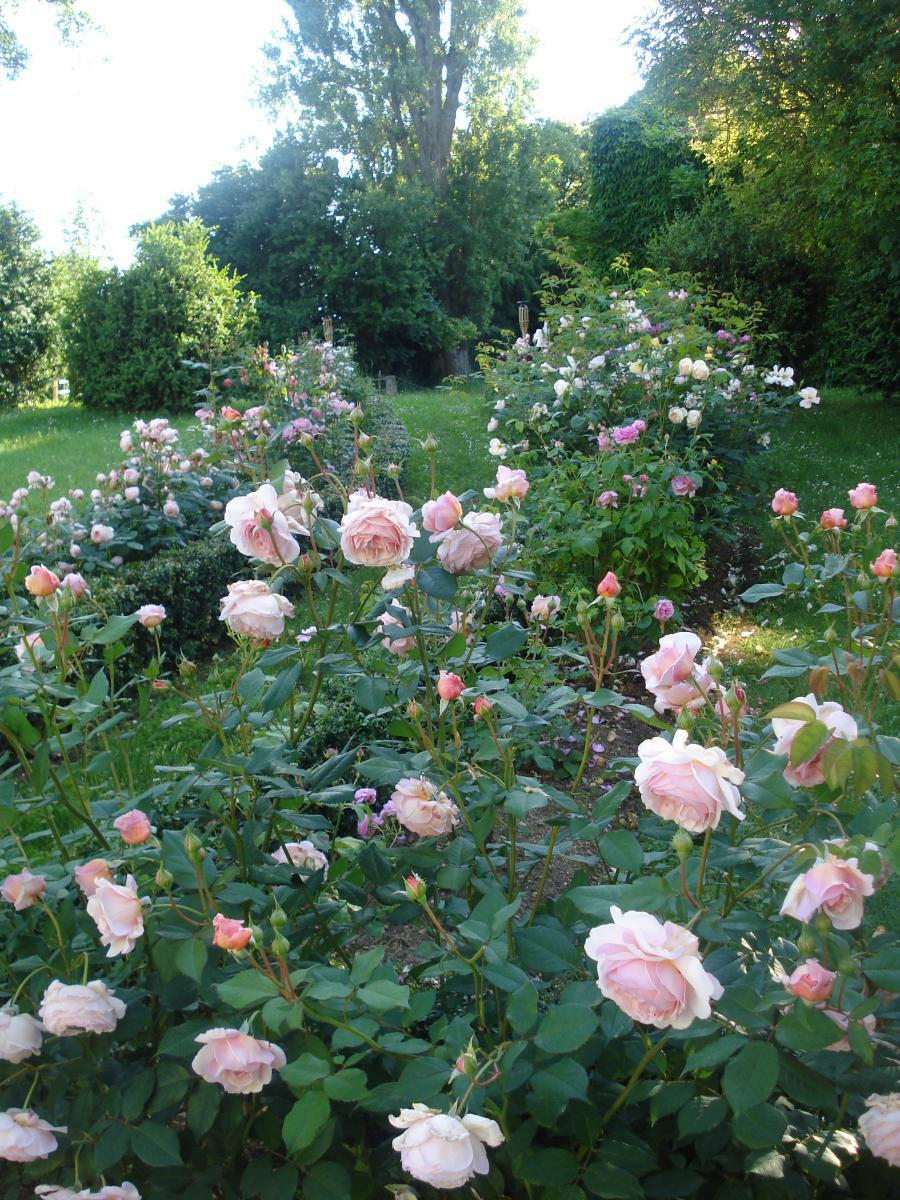 roses anciennes en saison.jpg