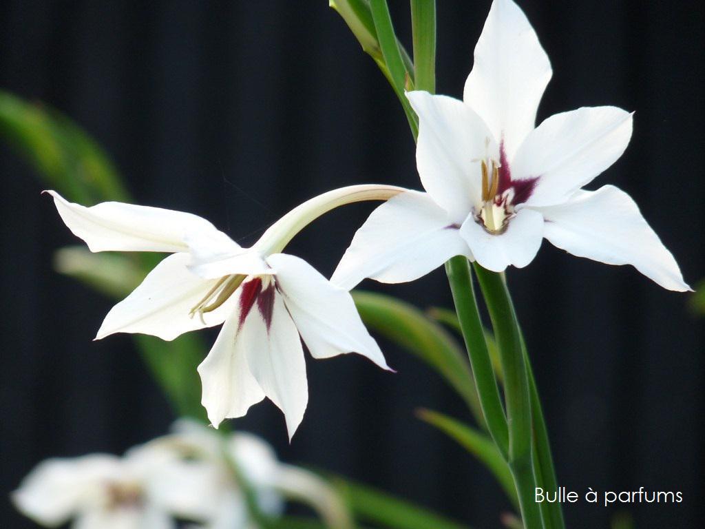 glaïeuls d'Abyssinie au Jardin parfumé de la Bulle à parfums dans le Jura, à Dar
