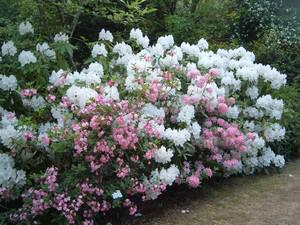 Rhododendron 'Snow Queen'